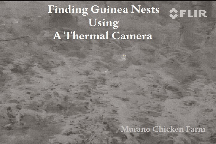 hidden guinea nests