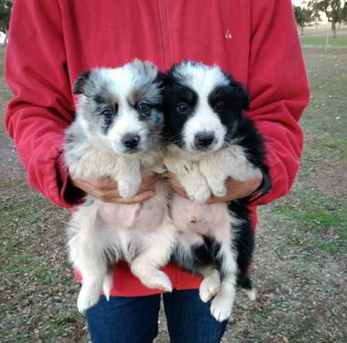 cachorros cruce border collie