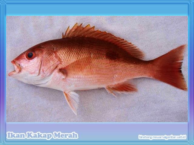 gambar ikan laut kakap merah