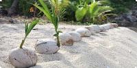 откуда пошли кокосы