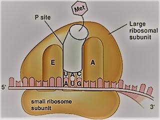 ribosom sel
