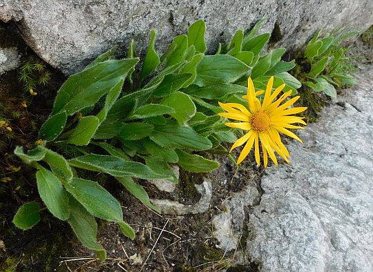 Omieg kozłowiec (Doronicum clusii).