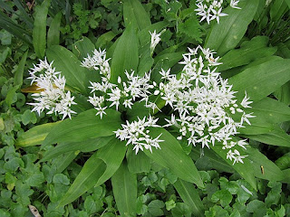 Wild Garlic Herb