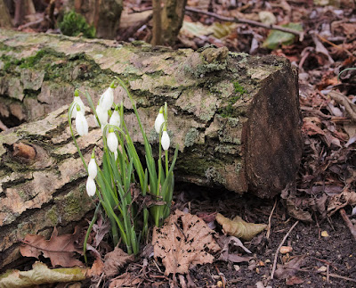 Clump of snowdrops in angle of fallen log