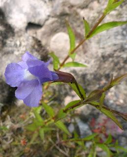 Mimule à fleurs entrouvertes - Mimulus ringens - Mimule ringent