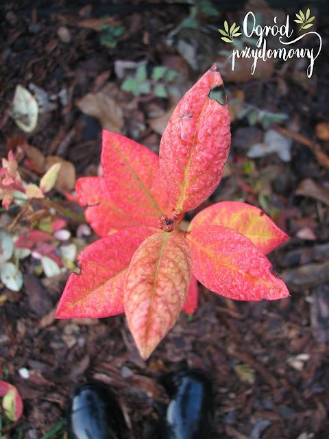 Jesienna magia ogrodu, ogród przydomowy