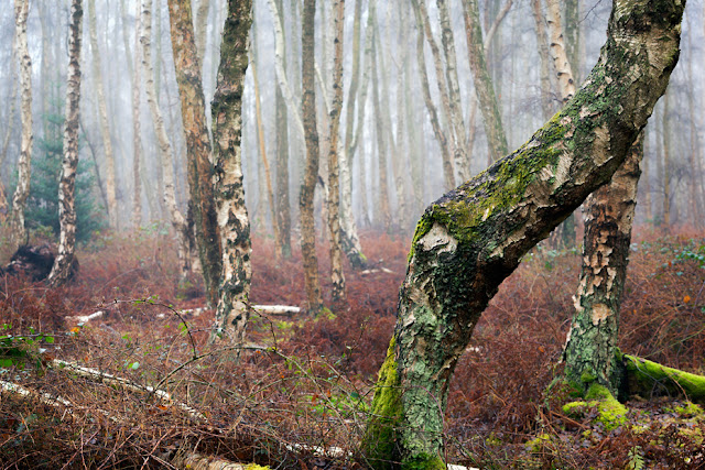 Ancient woodland in the Cambridgeshire Fens in the wintry mist at Holme Fen