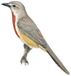 Rhodophoneus cruentus