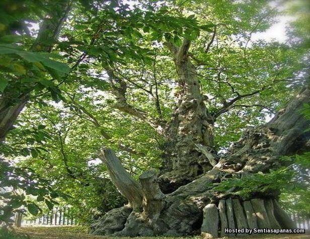 Pokok Horses Chestnut