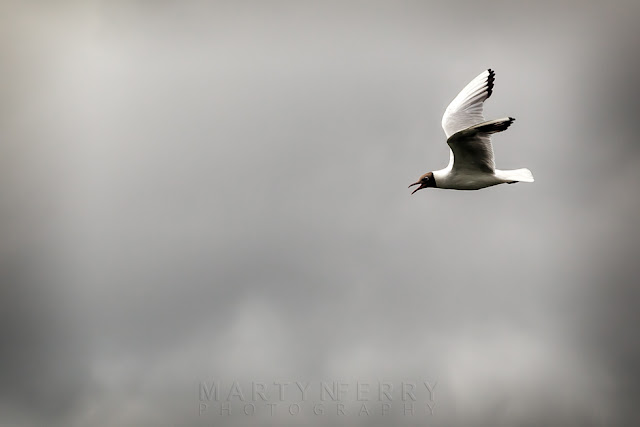 Black-headed gull flies in front of stormy clouds at Ouse Fen RSPB