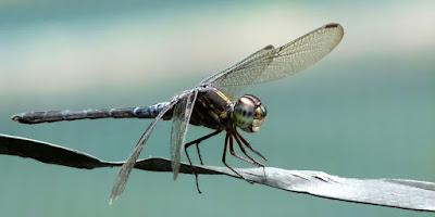 φέλιμα έντομα-Λιβελούλες