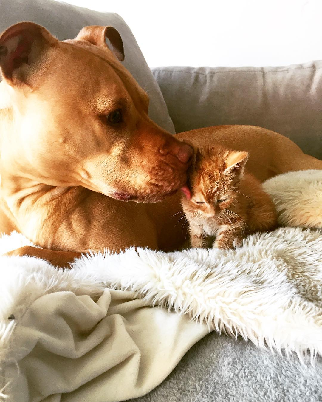 Rescue Pit Bull Gets His Own Kitty, Loves Her Like A Daughter