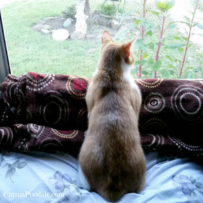 #Cat-looking-out-window -CarmaPoodale