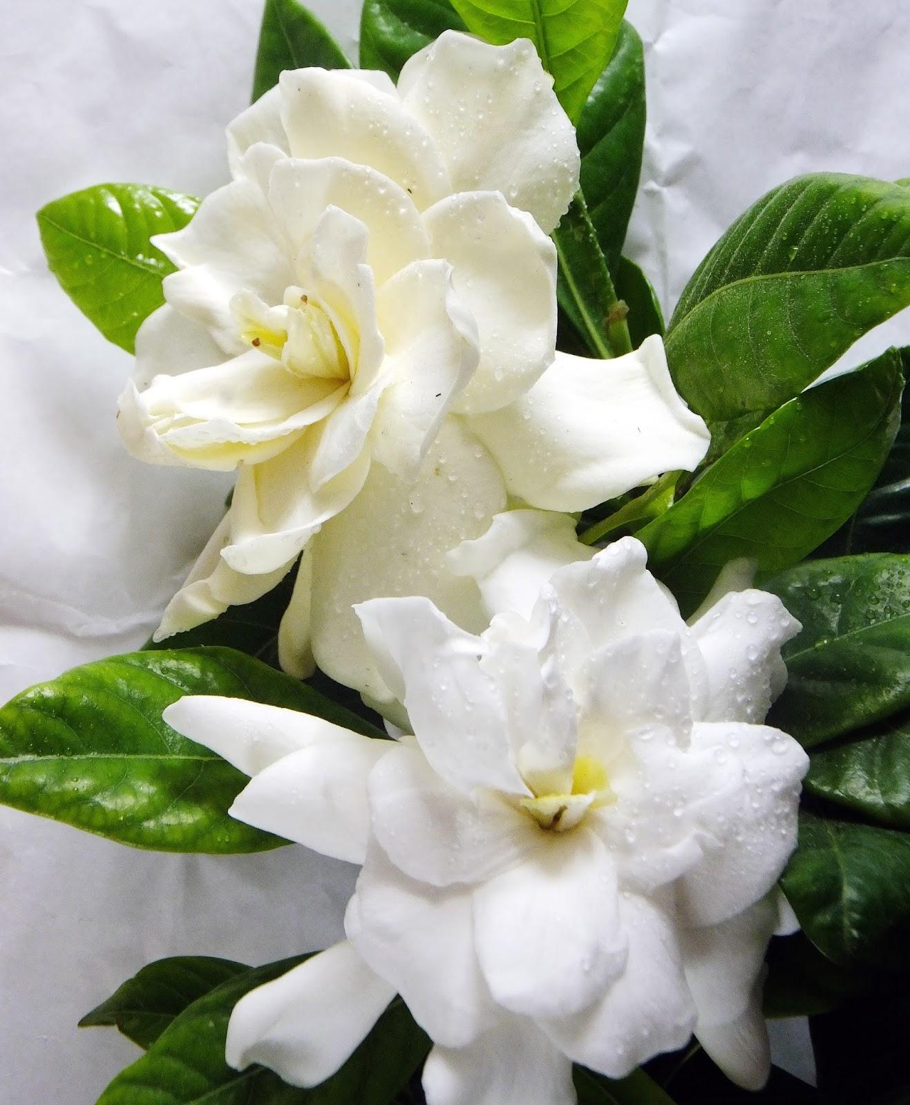 Fiori Gialli Gardenia.La Gardenia La Mia Casa Nel Vento