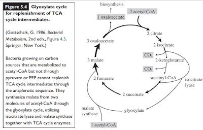 Siklus Glioksilat Lengkap – Langkah Reaksi dan Regulasi