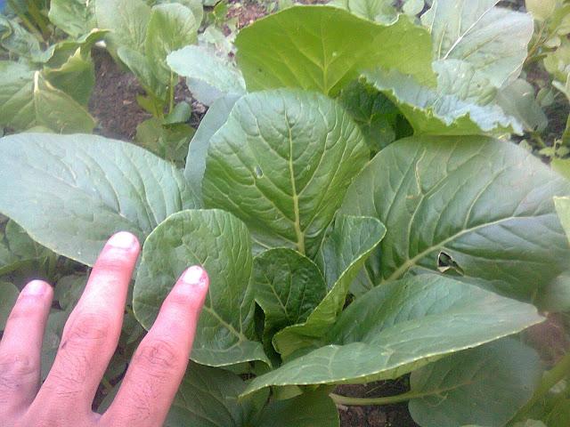 Sawi Hijau Organik dan Menyehatkan Tanpa Pestisida