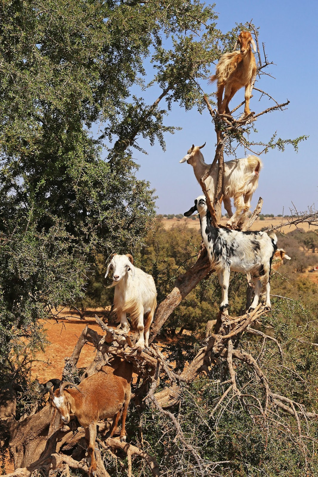 How Argan Oil is Made - From Tree-Climbing Goats to Women's Cooperatives in Morocco
