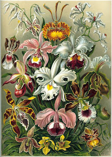 "Ernst Haeckel [Public domain], via Wikimedia Commons; A lithographic color plate from Ernst Haeckel's Kunstformen der Natur of 1899 showing an artist's depiction of different varieties of orchids."" Wikipedia"