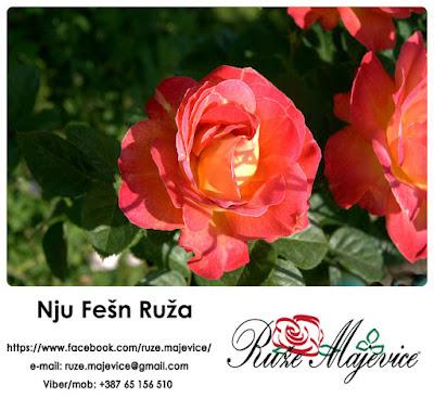 Ruža Nju Fešn - Elegantna i zavodljiva. Njoj se ne može odolet