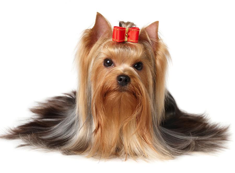 Yorkshire Terrier Or Yorkie Australian Dog Lover