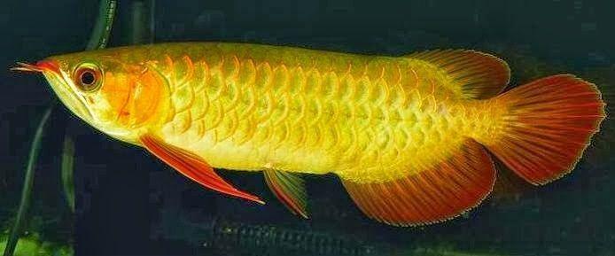 Sertifikat Arwana Golden Red