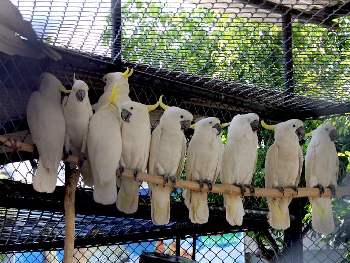 Kabar Terbaru Harga Burung Kakatua Bersertifikat Resmi Terbaru Kabarterbaru Co