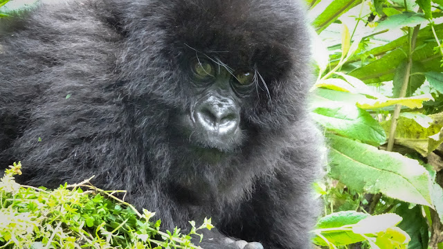 Closeup Photo Gorilla