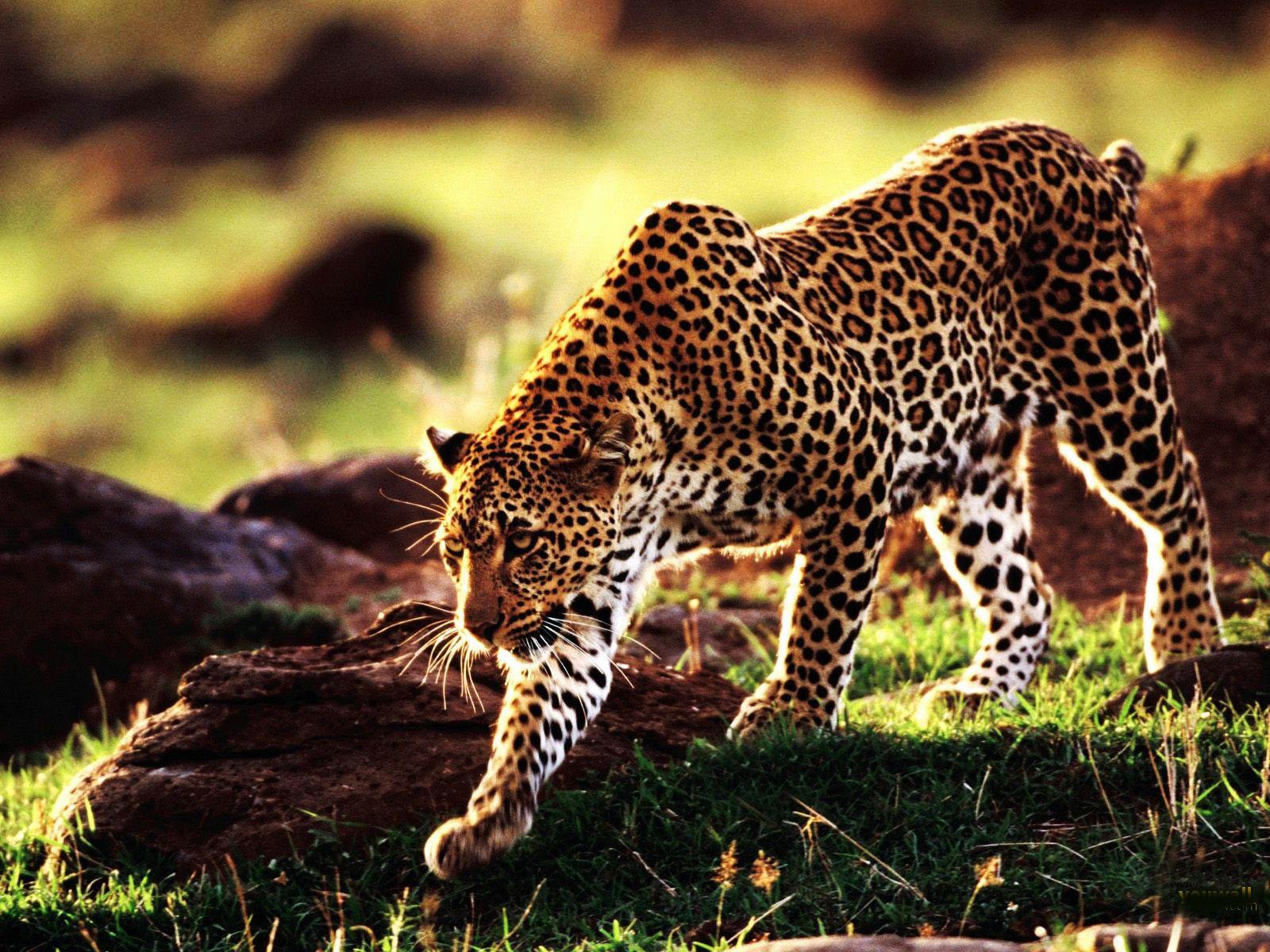 Hd Animals Wallpapers Free: Cheetah Dangerous Hd WallpapersPictures 2013