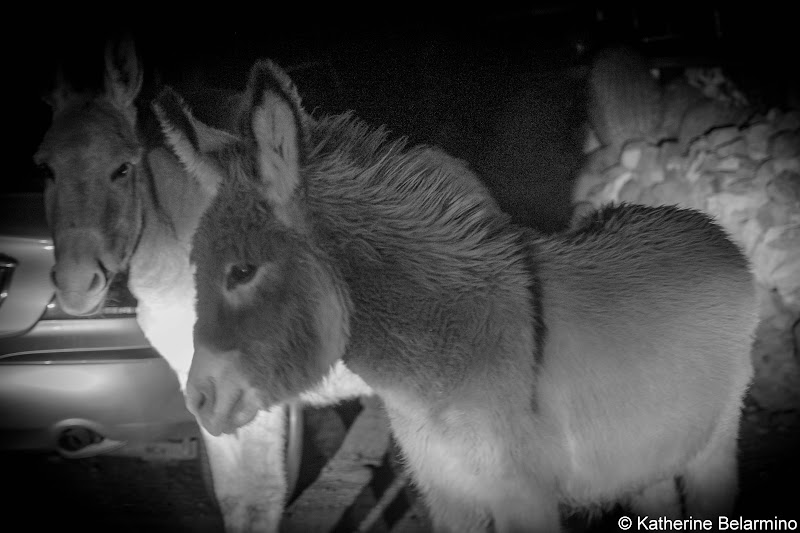 Oatman Wild Burros Arizona Route 66 Road Trip Attractions