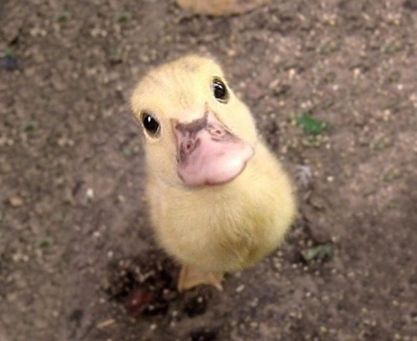 Baby Animals: Duckling