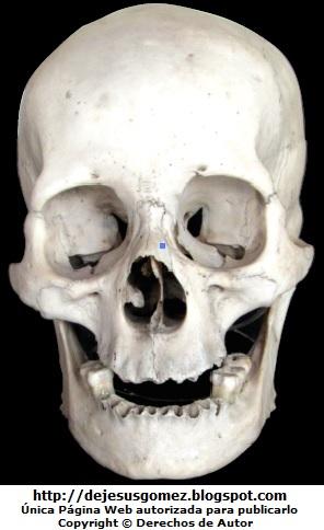 Cráneo de Homo sapiens. Foto de cráneo tomada por Jesus Gómez