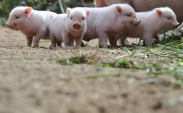 Eles exigem cuidados especiais com a pele e também com as doenças próprias do suínos. Alimentação apropriada, adestramento e espaço suficiente porque podem chegar ao tamanho de um cachorro de porte médio.