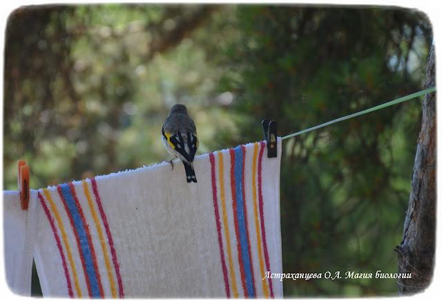 щегол на полотенце, магия биологии