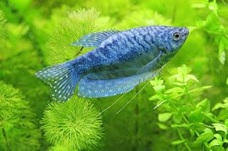Prospek Usaha Budidaya Ikan Gurame dan Harga Bibit Ikan Gurame