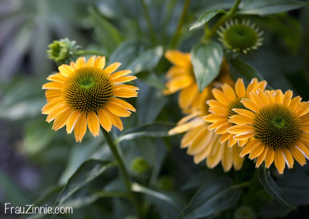 Floral Friday: Aug. 4 | Frau Zinnie