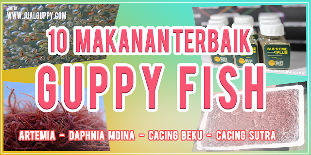 Guppy Makan Artemia, Guppy Makan Daphnia, Guppy Makan Cabek, Guppy Makan Casut