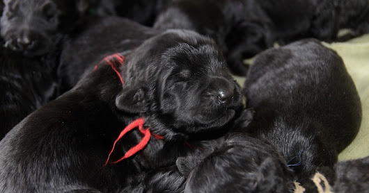 PRESERVING THE NORTH AMERICAN BLACK RUSSIAN TERRIER BREED