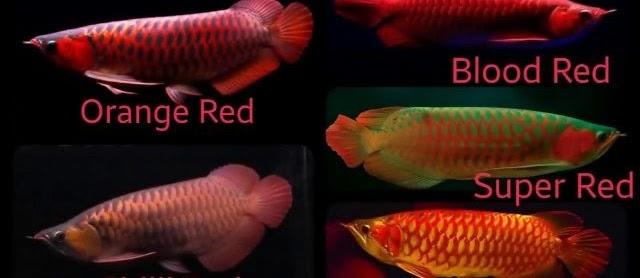 Jenis Jenis Ikan Arwana yang Tersebar di Dunia Hingga Sekarang
