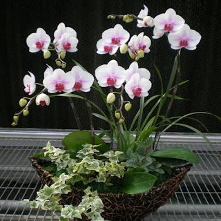 Rangkaian Bunga Anggrek Bulan Tangerang