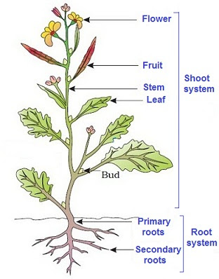Parts Of Flowering Plants Study Of Plant
