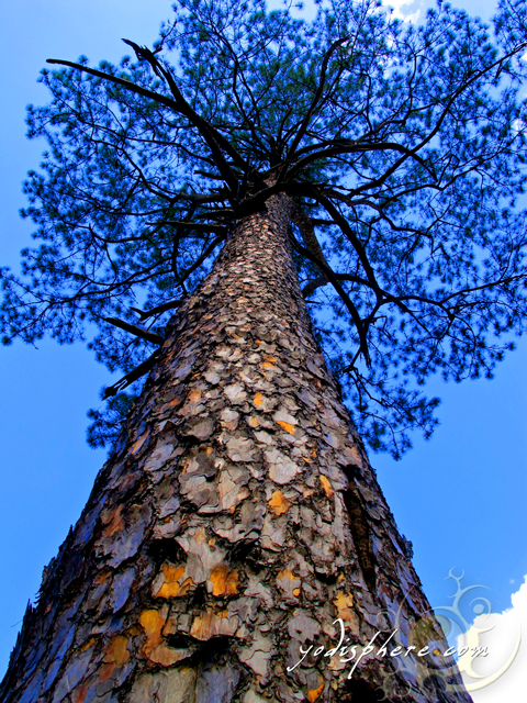 Huge pine tree against blue sky at Mt. Pulag