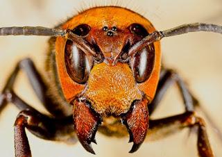 Giant japanese hornet