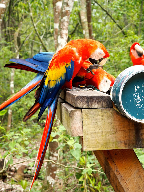 Scarlet macaws in the jungle at the temple ruins outside Copan, Honduras