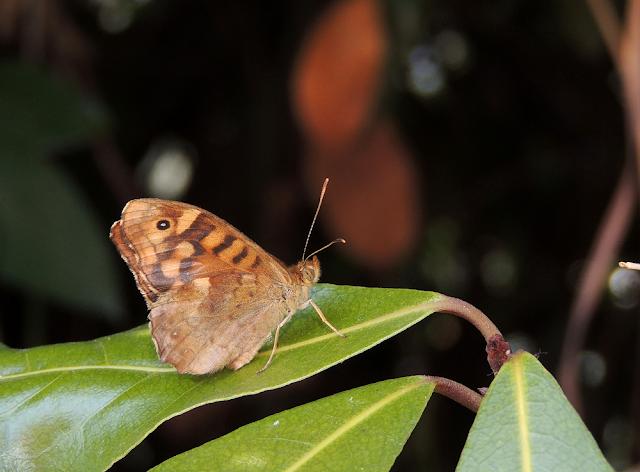 Mariposas de Pontevedra.
