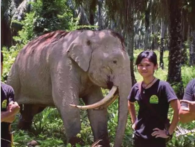 Gajah Bergading Unik Ditemui di Sabah