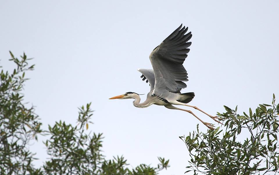 What a wonderful morning, exploring Pasir Ris Park and enjoying myself watching grey heron dancing away. Here's what I got after spending 3hours ....