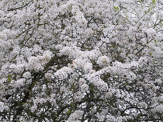 Close up of plum tree with branches thick with flowers