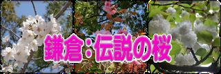 鎌倉:伝説の桜