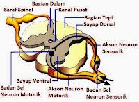 Fungsi Anatomi Sumsum Tulang Belakang