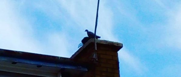 Dorset Chimney Sweep Rescues Bird from Chimney 01